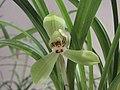春劍大富貴 Cymbidium longibracteatum 'Great Riches & Honours' -香港沙田國蘭展 Shatin Orchid Show, Hong Kong- (12303952875).jpg