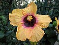 木槿屬 Hibiscus calyphyllus -香港動植物公園 Hong Kong Botanical Garden- (32667146498).jpg