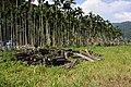 檳榔林 Betel Nut Trees - panoramio.jpg