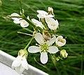 無心菜屬 Arenaria fendleri -比利時 Ghent University Botanical Garden, Belgium- (9226997895).jpg