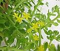 玉山佛甲草 Sedum morrisonensis -香港花展 Hong Kong Flower Show- (9216099980).jpg