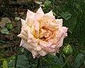 玫瑰-和平 Rosa Peace -日本廣島和平紀念公園 Hiroshima Peace Memorial Park, Japan- (35584594992).jpg