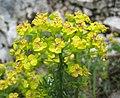 硬葉大戟 Euphorbia rigida -斯洛文尼亞 Postojna Cave, Slovenia- (27428327890).jpg