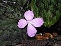 紫花山柰 Kaempferia elegans -檳城香料園 Tropical Spice Garden, Penang- (9200927916).jpg