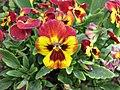 角堇 Viola Sorbet Fire -上海國際花展 Shanghai International Flower Show- (17315425526).jpg