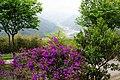 野牡丹 Melastoma candidum - panoramio (1).jpg