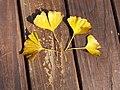 雌雄銀杏葉 Folium Ginkgo - panoramio.jpg