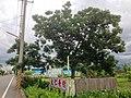 鹽埔鄉新圍社區德協路旁被稱為大仁哥樹的苦楝樹.jpg