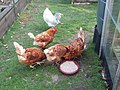 -2019-08-07 Four Chickens and a rooster, Trimingham.JPG
