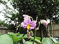 -2020-07-01 Stemster potato flower (Solanum tuberosum), Trimingham (2).JPG