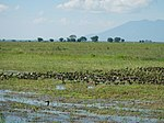 03306jfBirds Sanctuary Ducks Wetland Marshes Rice Fields Candaba Pampangafvf 18.JPG