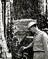 1957. Weyerhaeuser Forester P.G. Lauterbach examines cage used to collect emerging Douglas-fir beetles. Coos County, Oregon. (33513915706).jpg