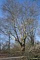 2010-03 ND-31 Platane Leseband 01.jpg