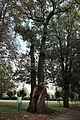 20131002-wschowa-al-debowa-dab-quercus-robur-pomnik-b.jpg