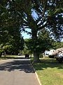 2014-08-27 14 48 02 Base of a large Pin Oak along Terrace Boulevard in Ewing, New Jersey.JPG