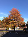 2014-11-02 15 04 10 Pin Oak during autumn along Olden Avenue in Ewing, New Jersey.jpg