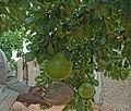 2014.09-421-196ap calabash tree,bowl Finkoloni,N'Goutjina Cmn.(Koutiala Crc.,Sikasso Rgn),ML fri05sep2014-1016h.jpg