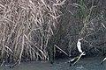 20140119 005 Kessel Weerdbeemden Aalscholver, Great Cormorant, Kormoran, Phalacrocorax carbo (12033005065).jpg