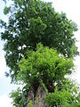 20150521Metasequoia glyptostroboides3.jpg