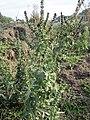 20151005Ambrosia artemisiifolia6.jpg