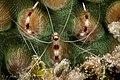 2017, cuba, jardines aggressor, cachiboca II, banded coral shrimp (36842740084).jpg