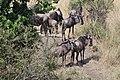 2017 Wildebeest migration Kenya 07.jpg