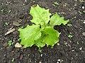 2018-06-01 (129) Lactuca sativa (garden lettuce) Nature at Bichlhäusl in Frankenfels, Austria.jpg