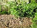 20180205Arenaria serpyllifolia1.jpg
