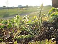 20180221Achillea millefolium1.jpg