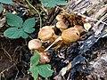 20181003 Fungi in Klein Leeuwenhorst - Prachtvlamhoed (Gymnopilus junonius?).jpg