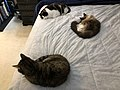 2019-11-03 19 26 00 Three cats lying on a bed in the Franklin Farm section of Oak Hill, Fairfax County, Virginia.jpg