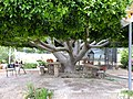 21-05-2017 Tree in garden, Restaurant Hamburgo, Benafim.JPG