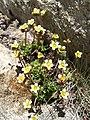 3892 - Gornergrat - Flowers.JPG
