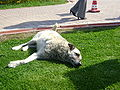 3 leg dog.JPG
