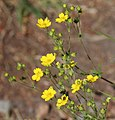 5-fingered cinquefoil Potentilla gracilis flowers.jpg