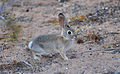 6 week old Cottontail.JPG