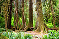 A060, Olympic National Park, Washington, USA, Hoh Rainforest, 2002.jpg