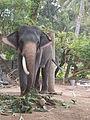 A 'SINGLE TUSK' Elephant..JPG