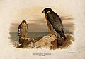 A Mediterranean peregrine (Falco punicus). Chromolithograph Wellcome V0022222.jpg