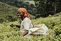 A Smiling woman harvest tea leave at Bumbuli Plantation.jpg