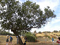 A Tamarisk Tree in Israel (5759425470).jpg
