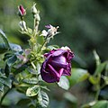 A dark purple rose Capel Manor College Gardens Enfield London England 2.jpg