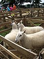A day at the Aylsham Show - sheep pens - geograph.org.uk - 937057.jpg