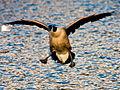 A funny landing of a Goose.jpg