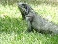 A large lizard.JPG