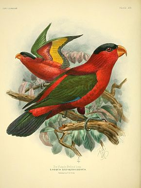 Description de l'image A monograph of the lories, or brush-tongued parrots (Plate XVI) (8006795212).jpg.