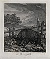 A wild boar in an enclosure in the marsh. Etching by J. E. R Wellcome V0021060ER.jpg