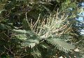 Acacia dealbata kz2.jpg