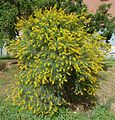 Acacia karroo, habitus, Jimmy Aves Park, g.jpg