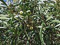 Acacia koaia (5187962066).jpg